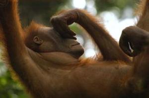 Not a monkey
