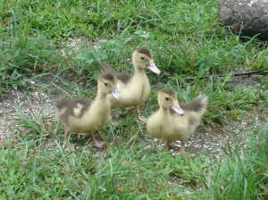 baby ducks, three ducks
